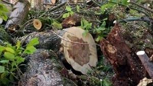 """parma. la futura capitale """"green"""" che taglia gli alberi anche in via buffolara.-2"""